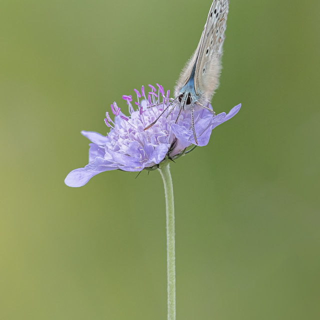 """""""Chalkhill Blue on Scabious"""" stock image"""