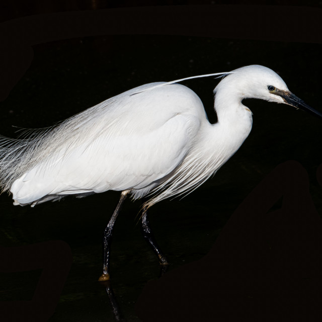 """""""LittleLittle Egret. Egret."""" stock image"""
