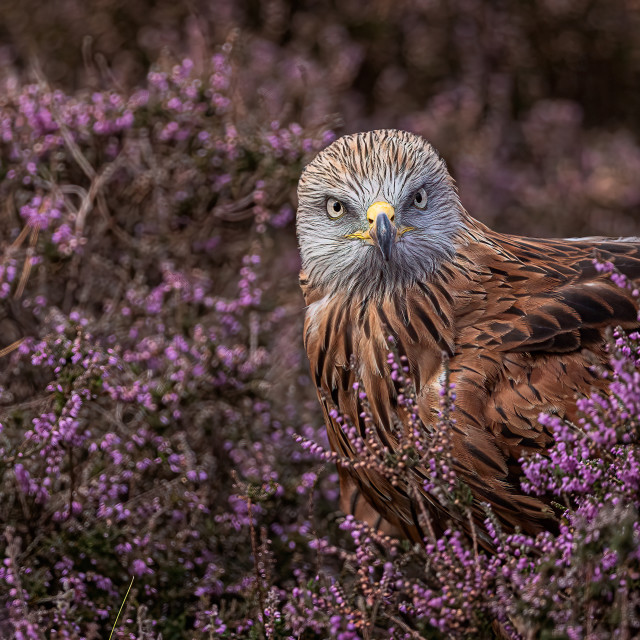 """""""Red Kite in Heather"""" stock image"""