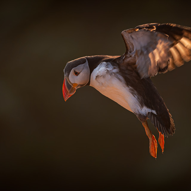 """""""Incoming Backlit Puffin"""" stock image"""