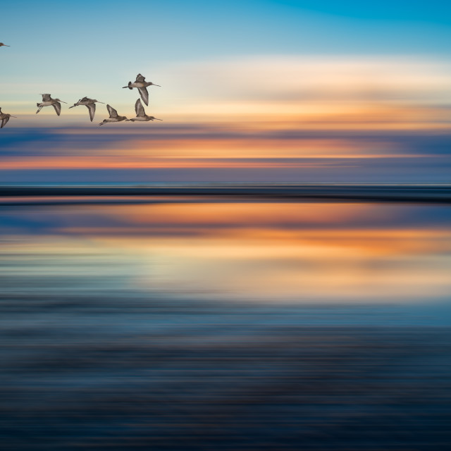"""""""Black-Tailed Godwits at Brancaster"""" stock image"""