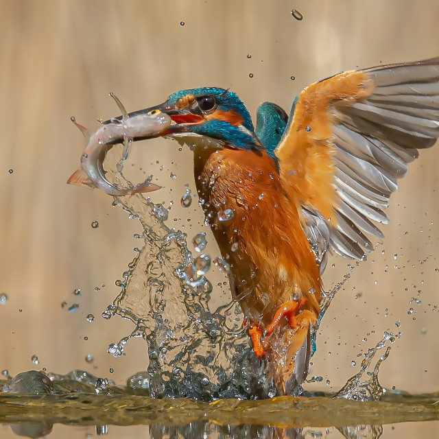 """Kingfisher Emerging with Rudd"" stock image"