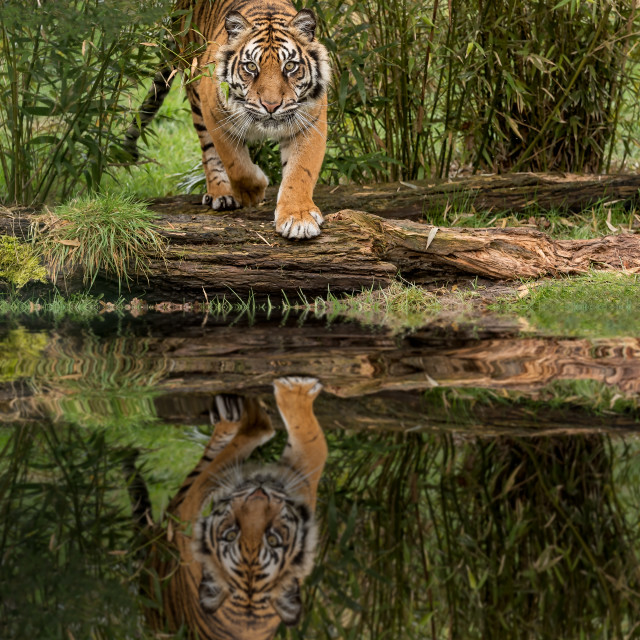 """""""Amur Tiger and Reflection"""" stock image"""