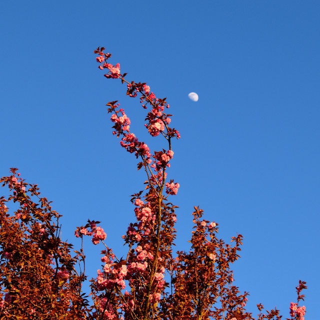 """""""Cherry Blossom and the Moon"""" stock image"""