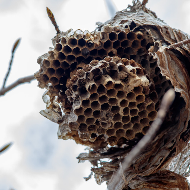 """""""Close-up of abandoned paper wasp nest"""" stock image"""