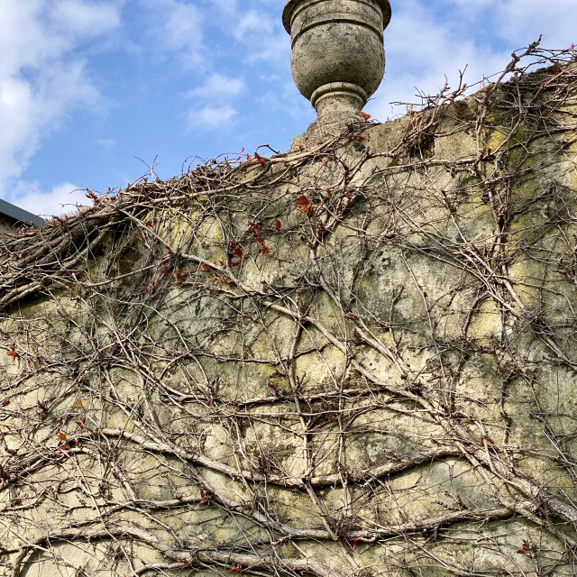 """""""Spring ivy growing and climbing up an old decorated concrete wall. New life awakening in springtime."""" stock image"""