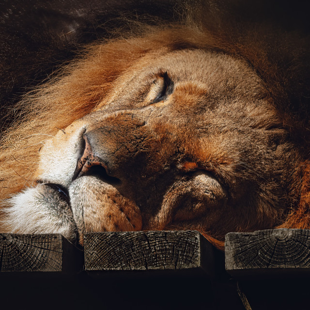 """""""A sleeping Lion from Colchester Zoo."""" stock image"""