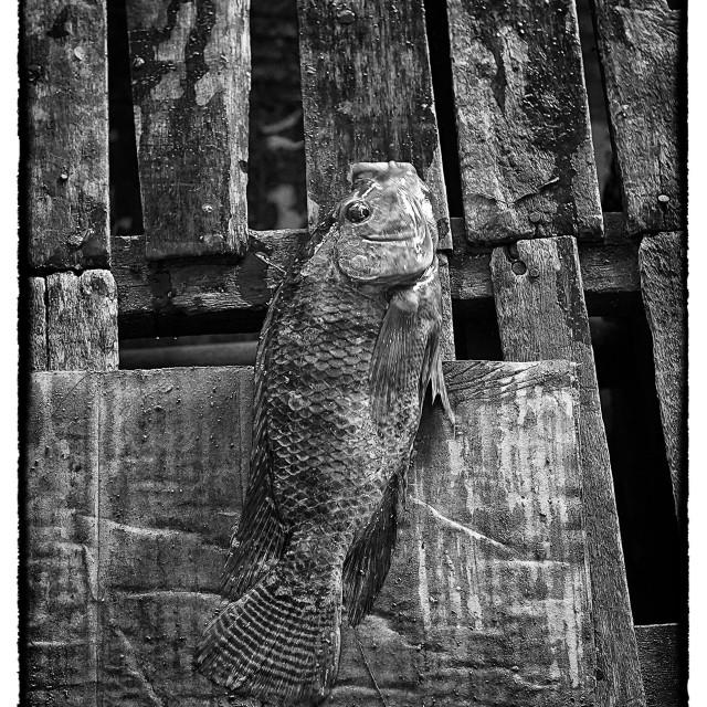 """Tilapia Fish"" stock image"