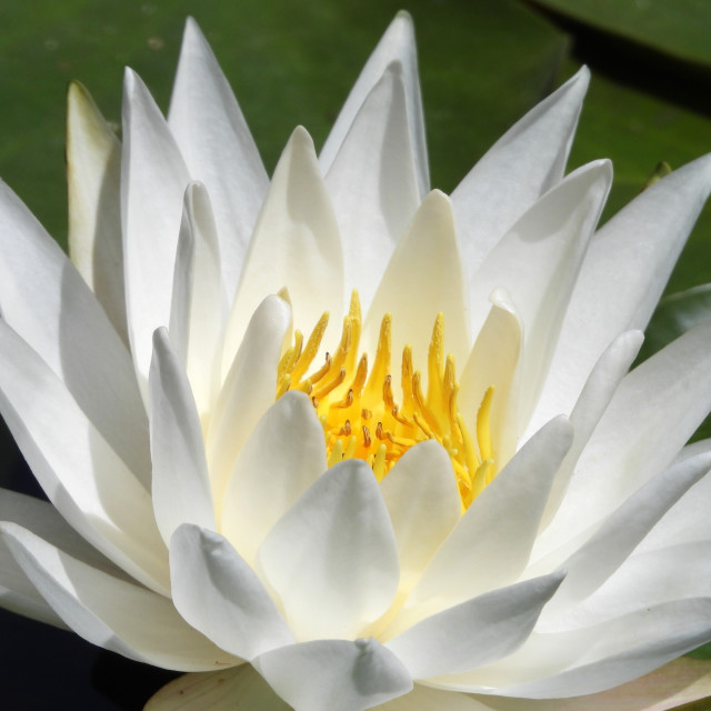 """White Waterlilies - Image 4"" stock image"