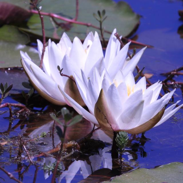 """White Waterlilies - Image 15"" stock image"