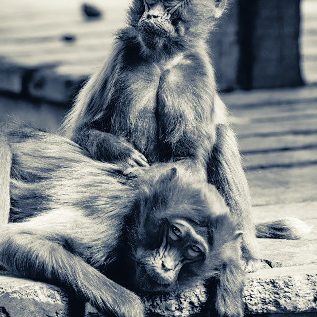 """""""Gelada Baboons from Colchester Zoo."""" stock image"""