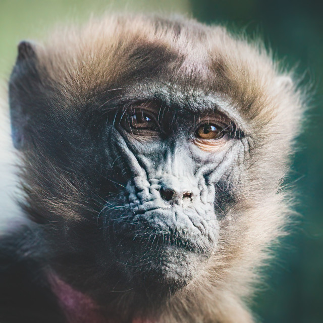 """""""A portrait of a Gelada Baboon, Colchester Zoo."""" stock image"""