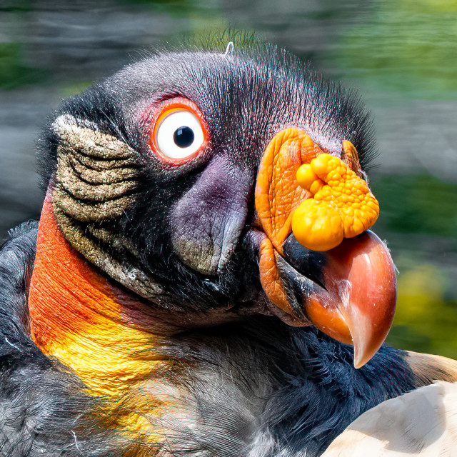"""""""King Vulture, Colchester Zoo."""" stock image"""