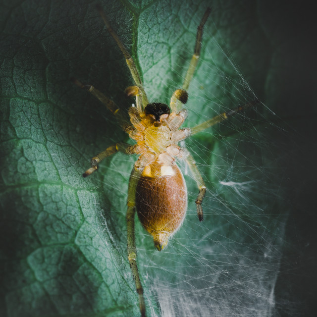 """Closeup shot of a Leafcurling Sac Spider"" stock image"