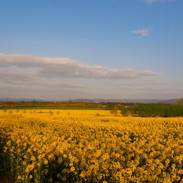 """""""Sunset over golden fields"""" stock image"""