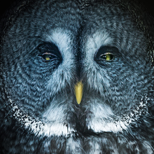 """""""Great Grey Owl, Colchester Zoo."""" stock image"""