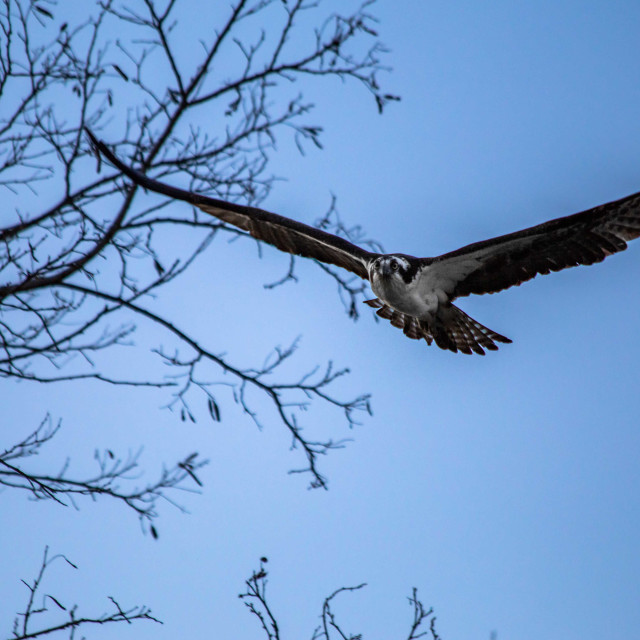 """Osprey in Flight in the Evening Light"" stock image"