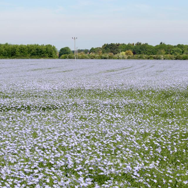 """Flaxseed field"" stock image"