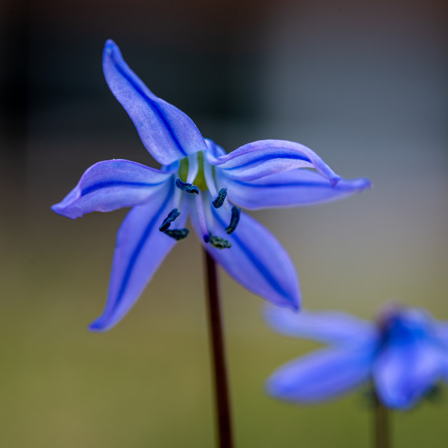 """""""Squill"""" stock image"""