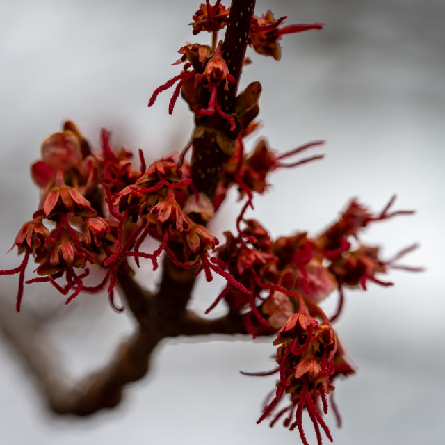 """""""Red Maple Female Buds"""" stock image"""