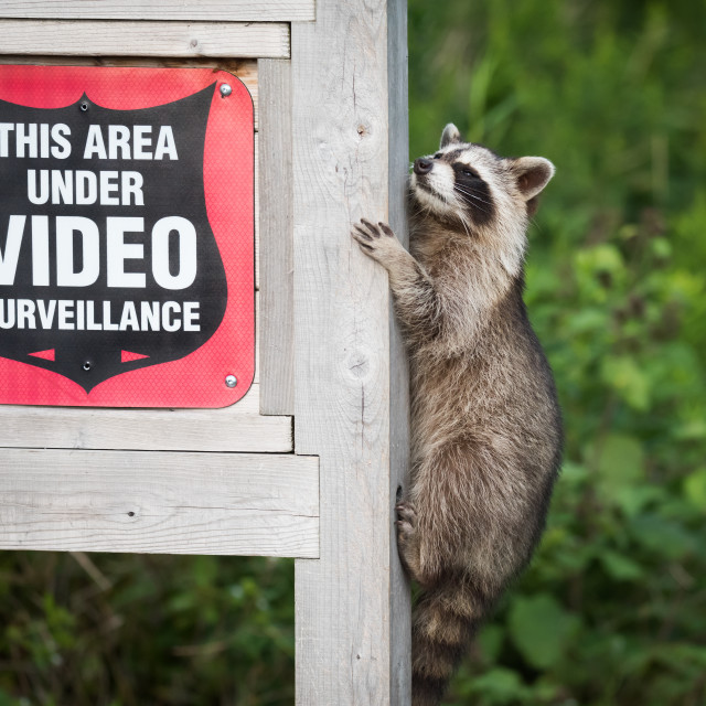 """""""""""Masked Bandit"""" Raccoon Doesn't Care About Security Cameras"""" stock image"""