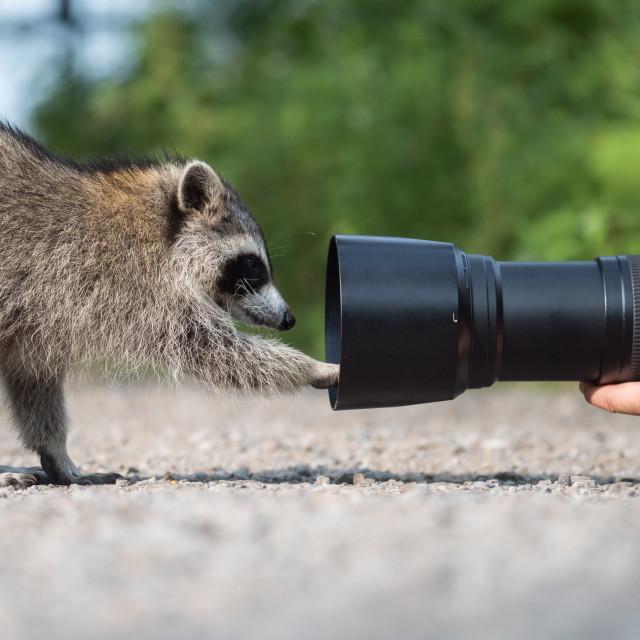"""Raccoon Examining Photographer's Lens"" stock image"