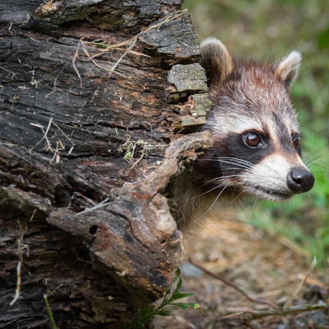 """""""Raccoon Poking Head Out of Hollow Log"""" stock image"""