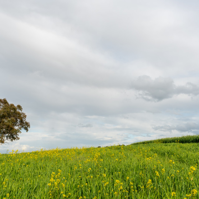 """""""Lonely tree in the green agriculture field against cloudy sky"""" stock image"""
