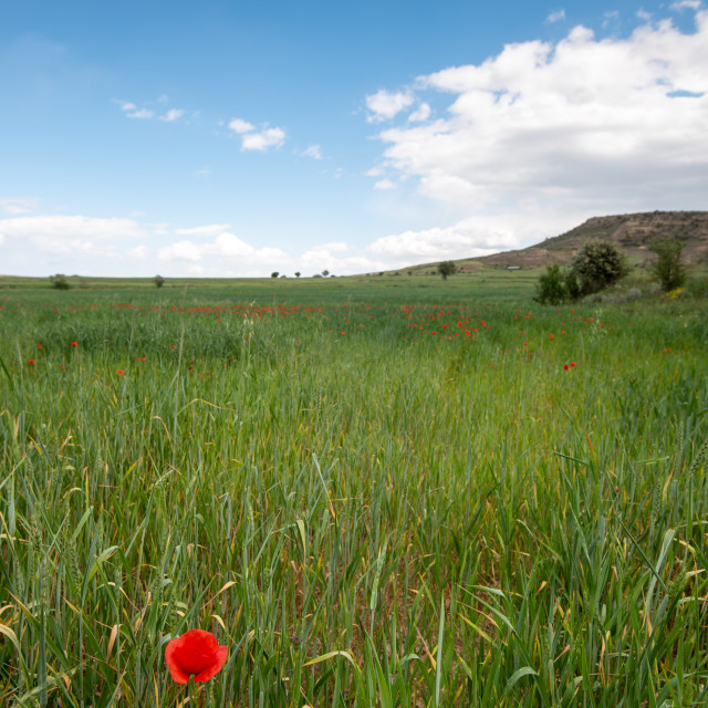 """""""Grassland field full of red beautiful poppy anemone flowers in spring"""" stock image"""