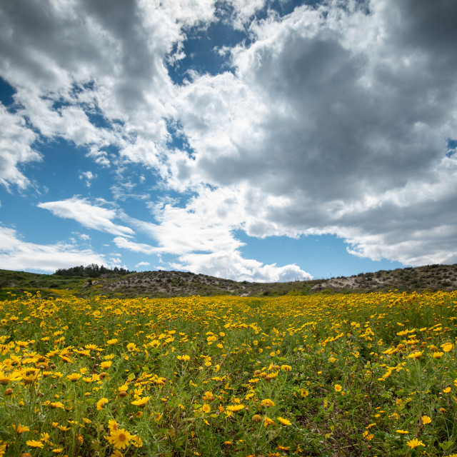 """""""Field with yellow wild marguerite daisy flowers in spring. Springtime landscape"""" stock image"""