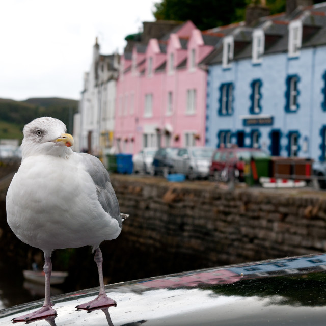 """""""Portrait of a seagull bird and houses at Portree the capital of Isle of Skye in the highlands of Scotland"""" stock image"""