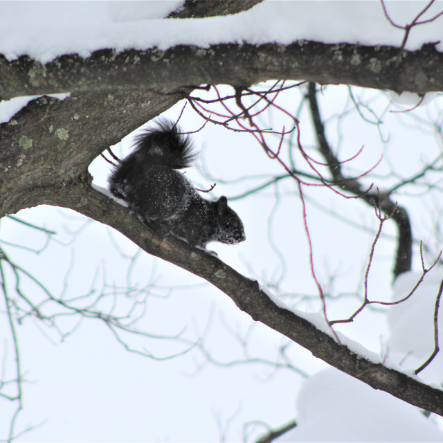 """""""Snow Covered Black Squirrel"""" stock image"""