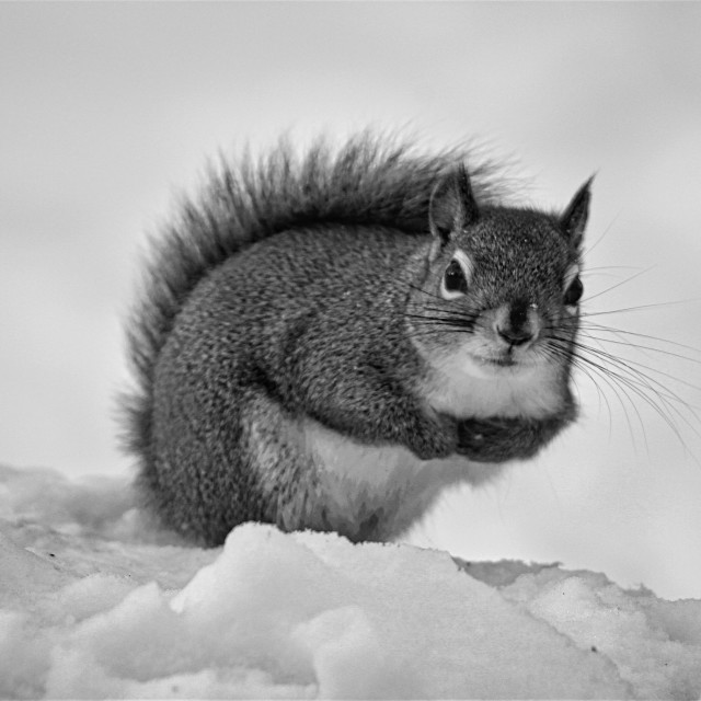"""Winter Squirrel"" stock image"