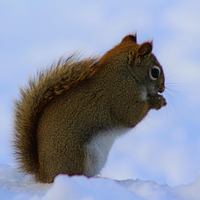 """""""Winter Squirrel Snacking"""" stock image"""