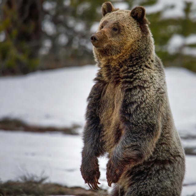 """grizzly bear-grand teton national park-wild-animal"" stock image"