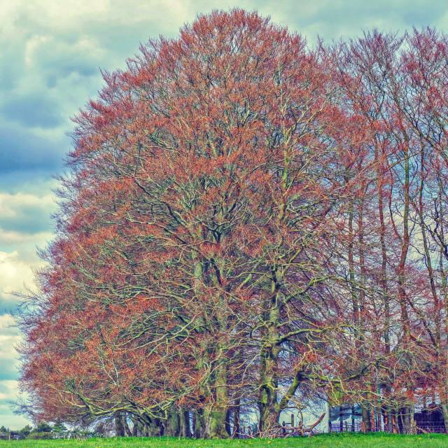 """Beautiful Beech Tree"" stock image"