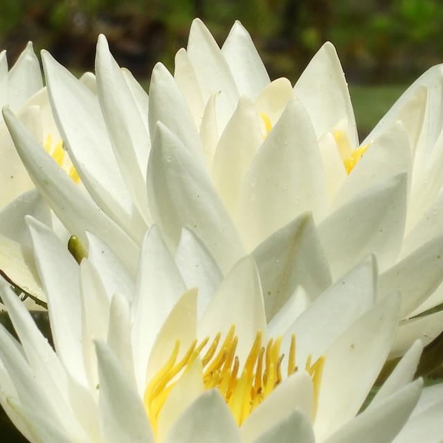 """White Waterlilies - Image 1"" stock image"