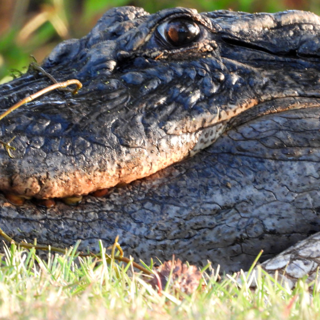 """Alligator Eye"" stock image"