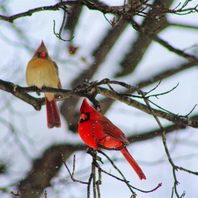 """""""Cardinal Pair"""" stock image"""