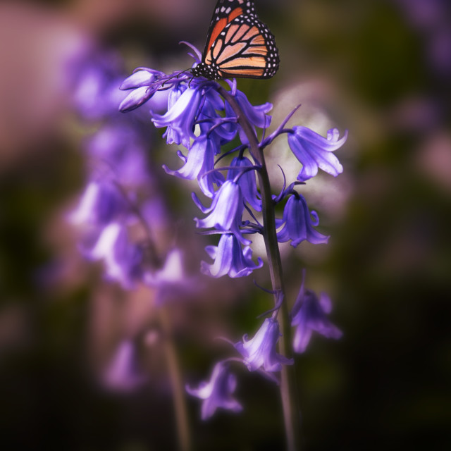 """""""Bluebell meets butterfly"""" stock image"""