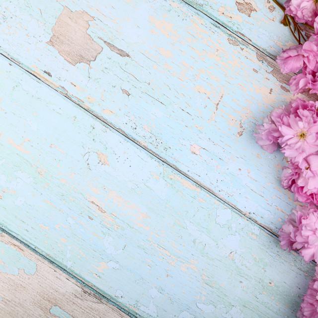 """Ornamental pink cherry tree blossom"" stock image"