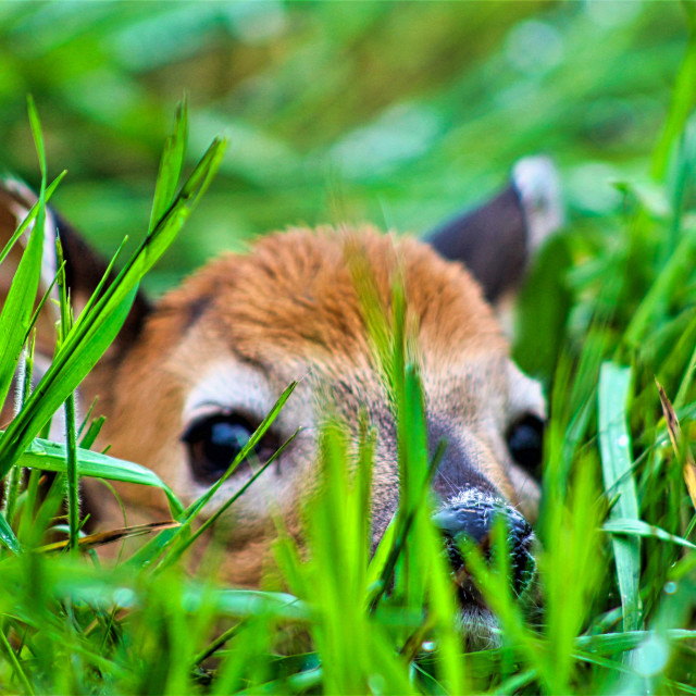 """""""Fawn in Tall Grass"""" stock image"""