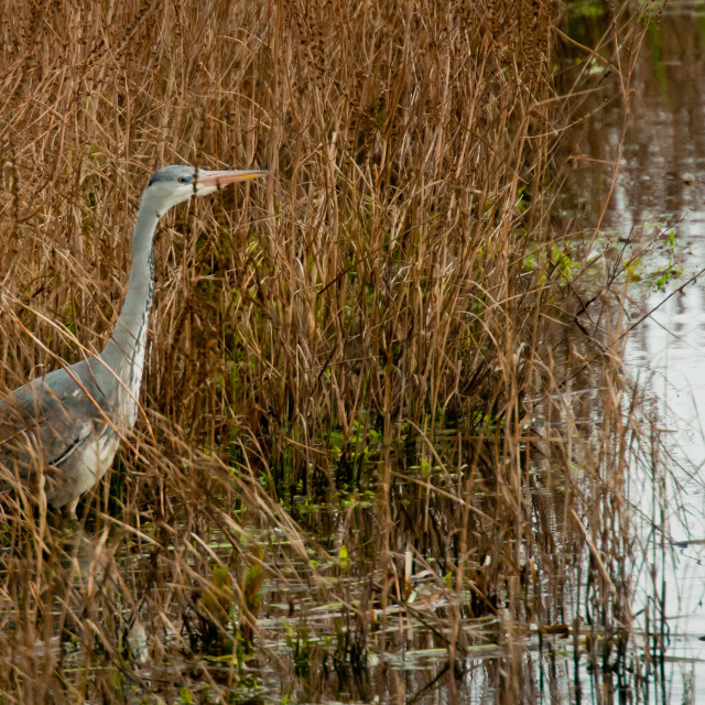 """""""Grey Heron in the reeds"""" stock image"""