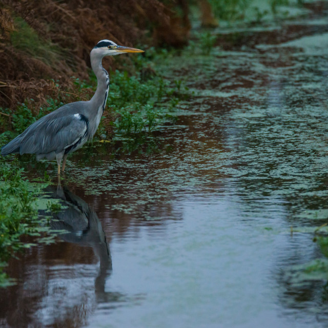 """""""Heron fishes in the river"""" stock image"""