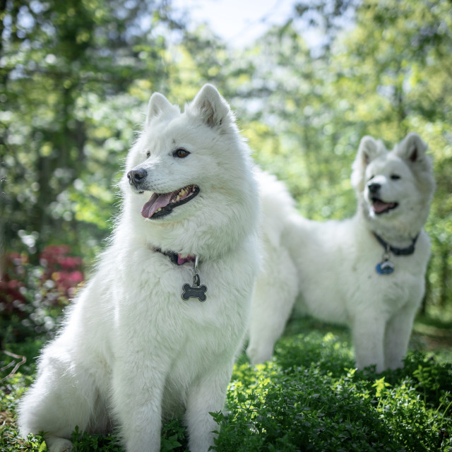 """""""Samoyed and her pup"""" stock image"""