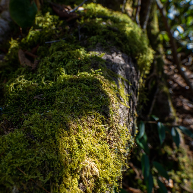"""""""sunlit moss growing on the exposed roots of a tree"""" stock image"""