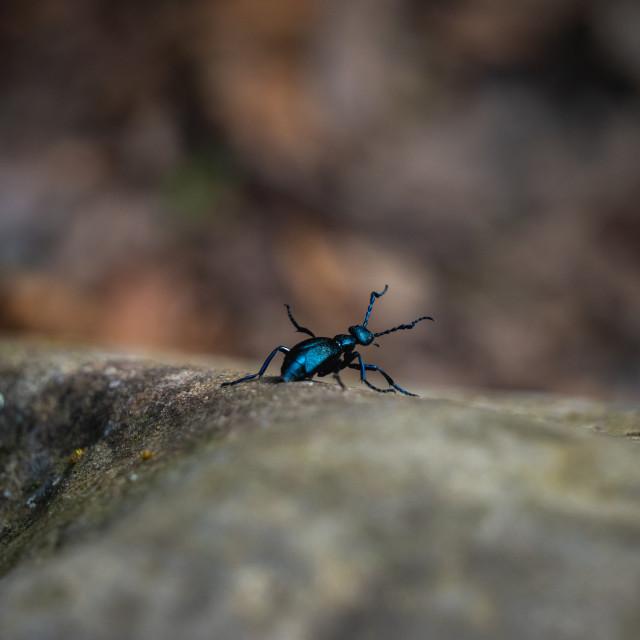 """little blue-black beetle climbing down a rock"" stock image"