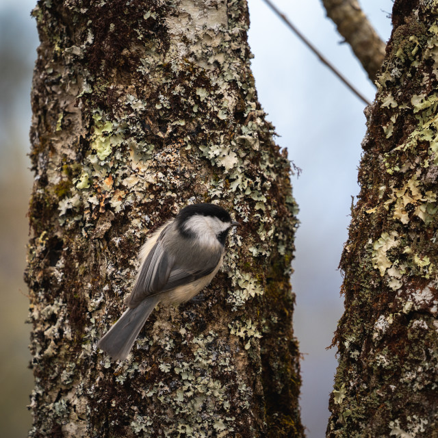 """""""black-capped chickadee on a mossy tree"""" stock image"""
