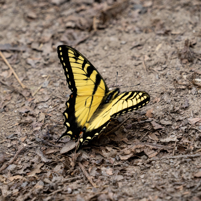 """""""butterfly on dirt path in the forest"""" stock image"""