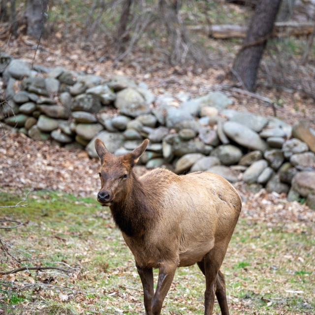 """""""manitoban elk calf in front of a stone wall"""" stock image"""